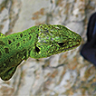 New data on the distribution of lizards ...