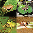 Herpetofauna in a highly endangered area: ...
