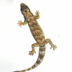 First record of the invasive gecko, Lepidodactylus ...