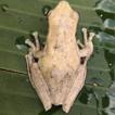 First record of Rhacophorus verrucopus ...