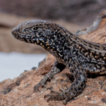A high mountain lizard from Peru: The ...