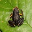 A new species of Micryletta Dubois, 1987 ...