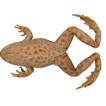The genus Pelophylax (Amphibia, Ranidae) ...
